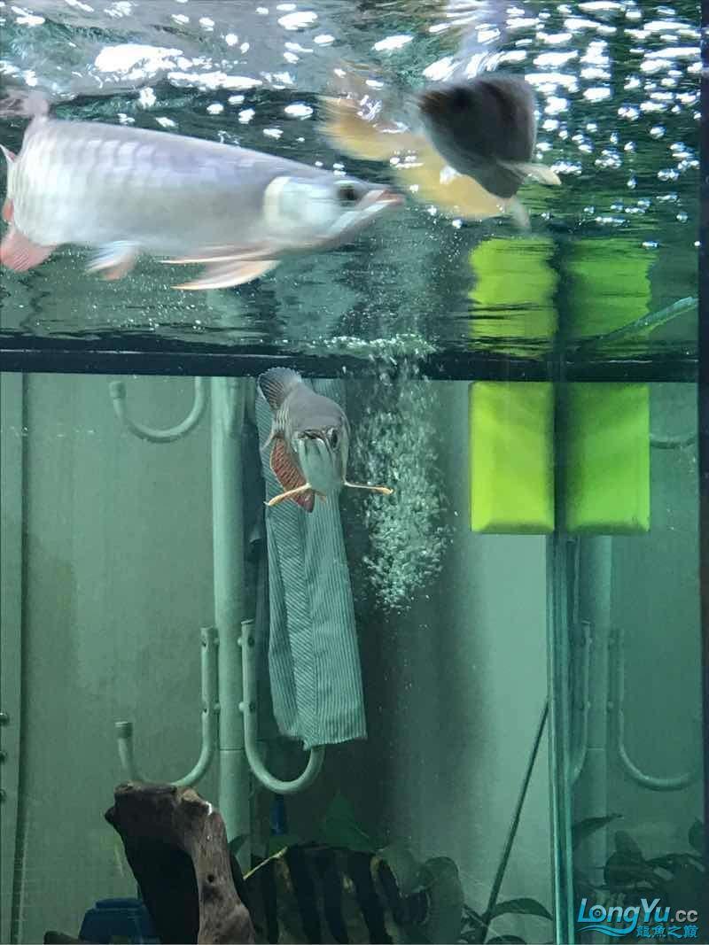 金龙鱼落枕了这可怎么办啊 西安龙鱼论坛 西安博特第2张