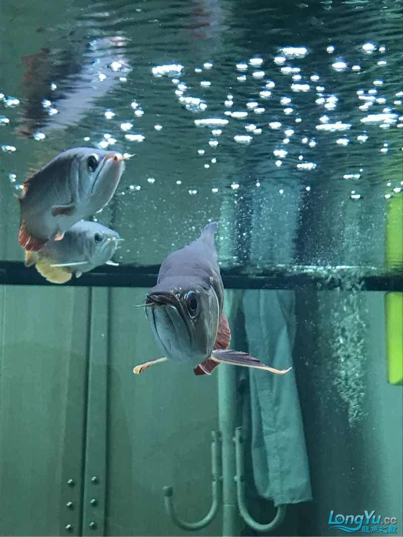 金龙鱼落枕了这可怎么办啊 西安龙鱼论坛 西安博特第4张