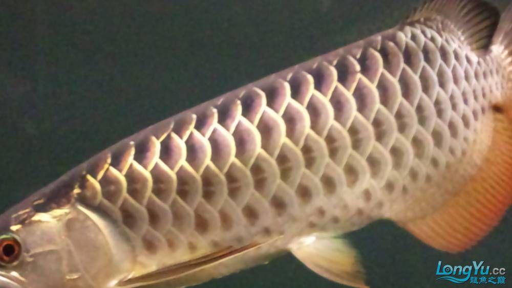 剛買的过背 請大家幫我看看 西安观赏鱼信息 西安博特第1张