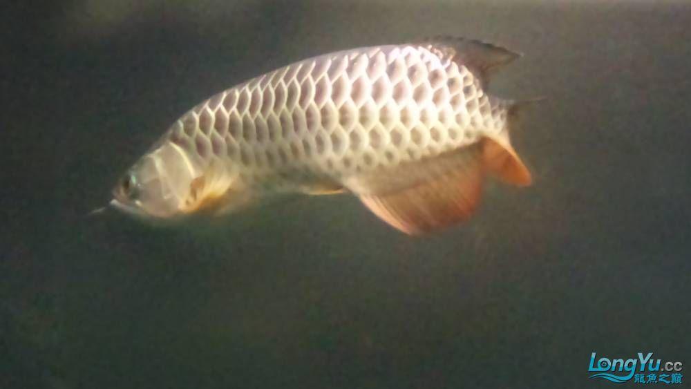 剛買的过背 請大家幫我看看 西安观赏鱼信息 西安博特第2张