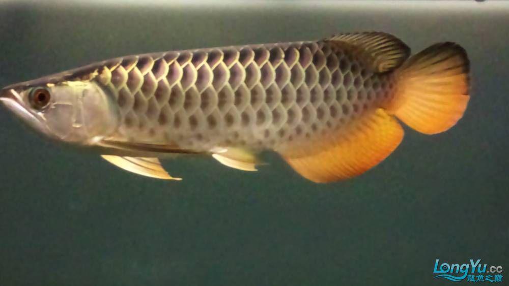 剛買的过背 請大家幫我看看 西安观赏鱼信息 西安博特第3张