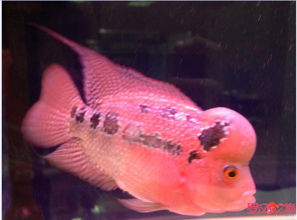 【西安观赏鱼交易中心】新手求教 帮看小罗如何 西安龙鱼论坛 西安博特第1张
