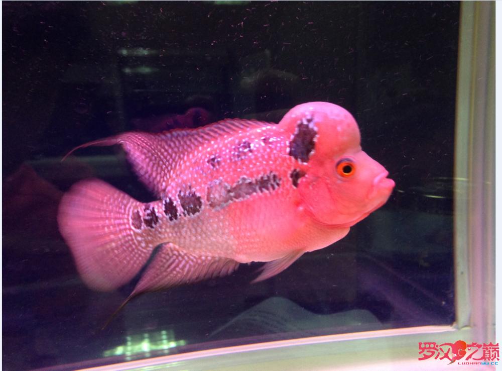【西安观赏鱼交易中心】新手求教 帮看小罗如何 西安龙鱼论坛 西安博特第2张