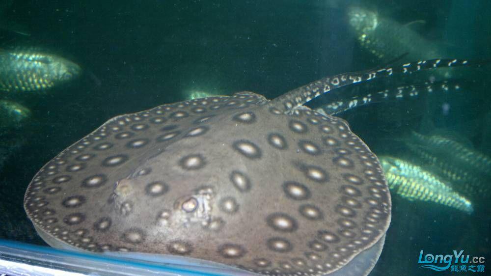 新进的魟鱼珍珠魟 西安龙鱼论坛 西安博特第4张
