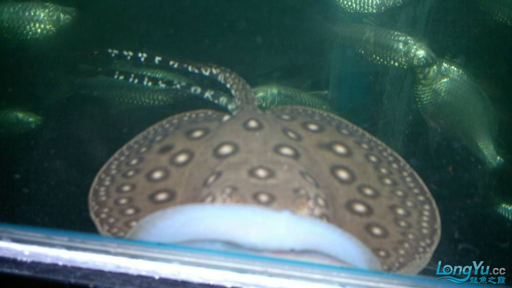 新进的魟鱼珍珠魟 西安龙鱼论坛 西安博特第3张