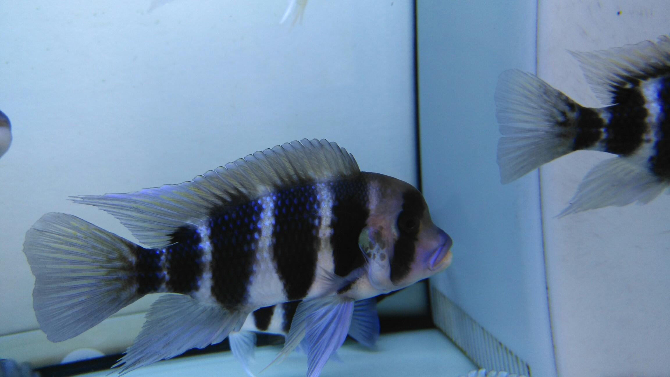 我的小布 西安观赏鱼信息 西安博特第5张