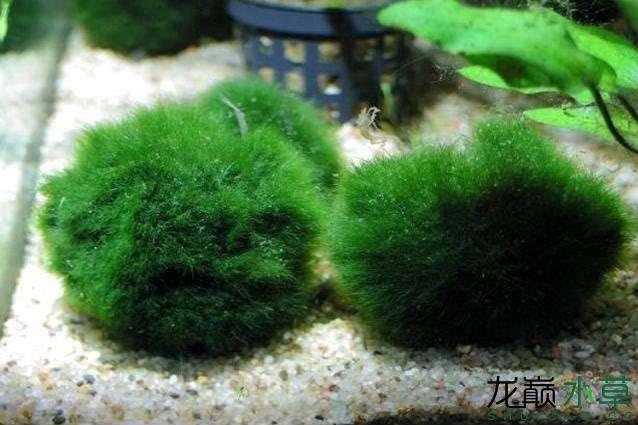 可以当水草来养的几种观赏藻类 西安观赏鱼信息 西安博特第1张