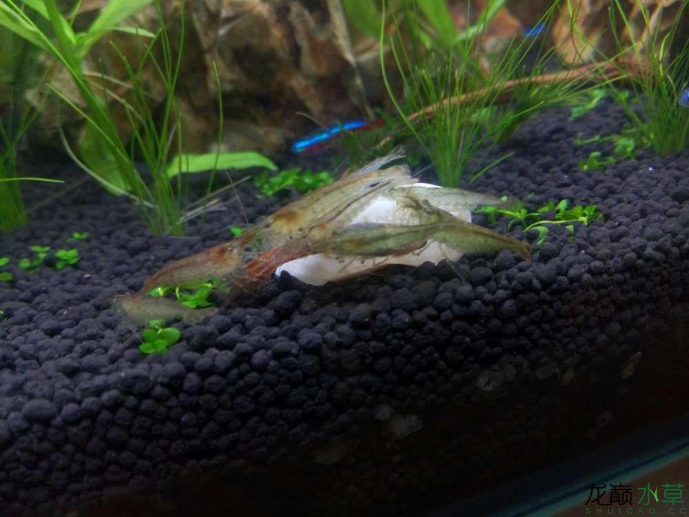 两只黑壳跳缸一条孔雀丧生 西安观赏鱼信息 西安博特第2张