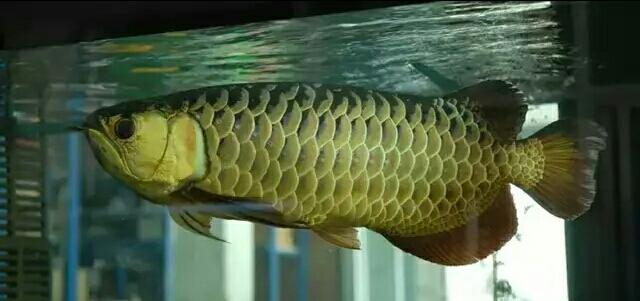 新手喂鱼一定要注意 西安观赏鱼信息 西安博特第1张