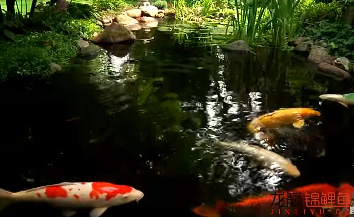 锦鲤跳缸必有原因 西安观赏鱼信息 西安博特第1张