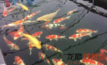 锦鲤跳缸必有原因 西安观赏鱼信息 西安博特第2张