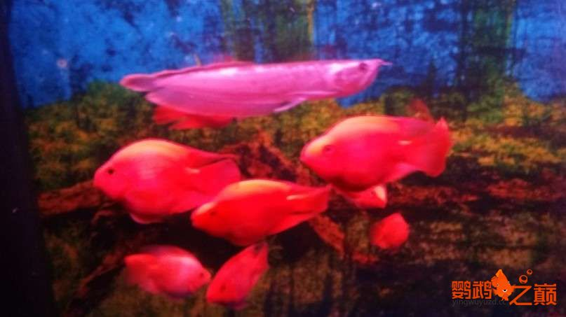 新人新手养了不到两个月 大混养 鱼儿都很和谐 西安龙鱼论坛 西安博特第7张