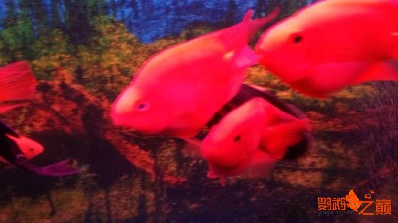 新人新手养了不到两个月 大混养 鱼儿都很和谐 西安龙鱼论坛 西安博特第11张
