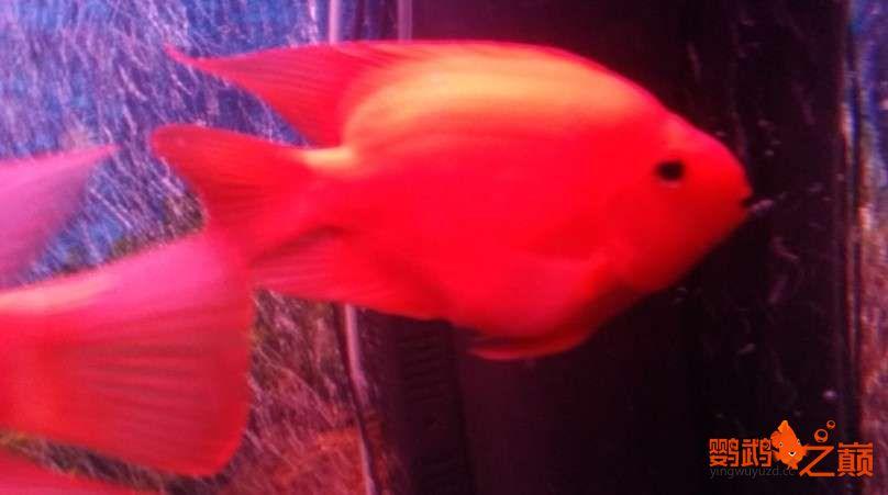 新人新手养了不到两个月 大混养 鱼儿都很和谐 西安龙鱼论坛 西安博特第12张