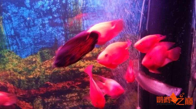 新人新手养了不到两个月 大混养 鱼儿都很和谐 西安龙鱼论坛 西安博特第13张