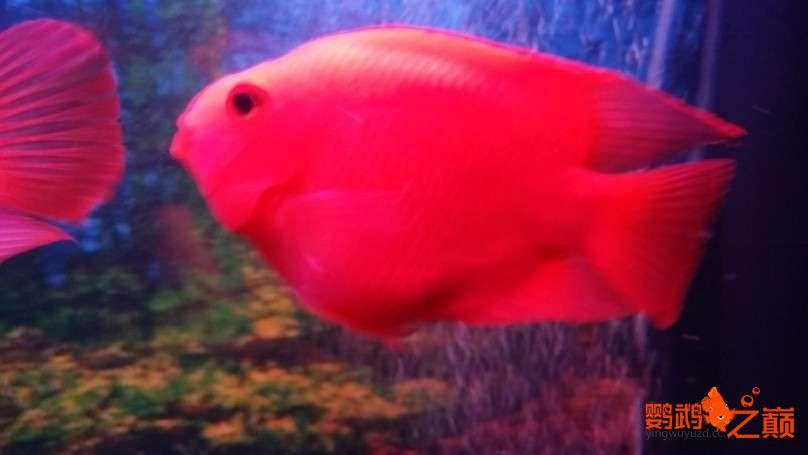 新人新手养了不到两个月 大混养 鱼儿都很和谐 西安龙鱼论坛 西安博特第16张