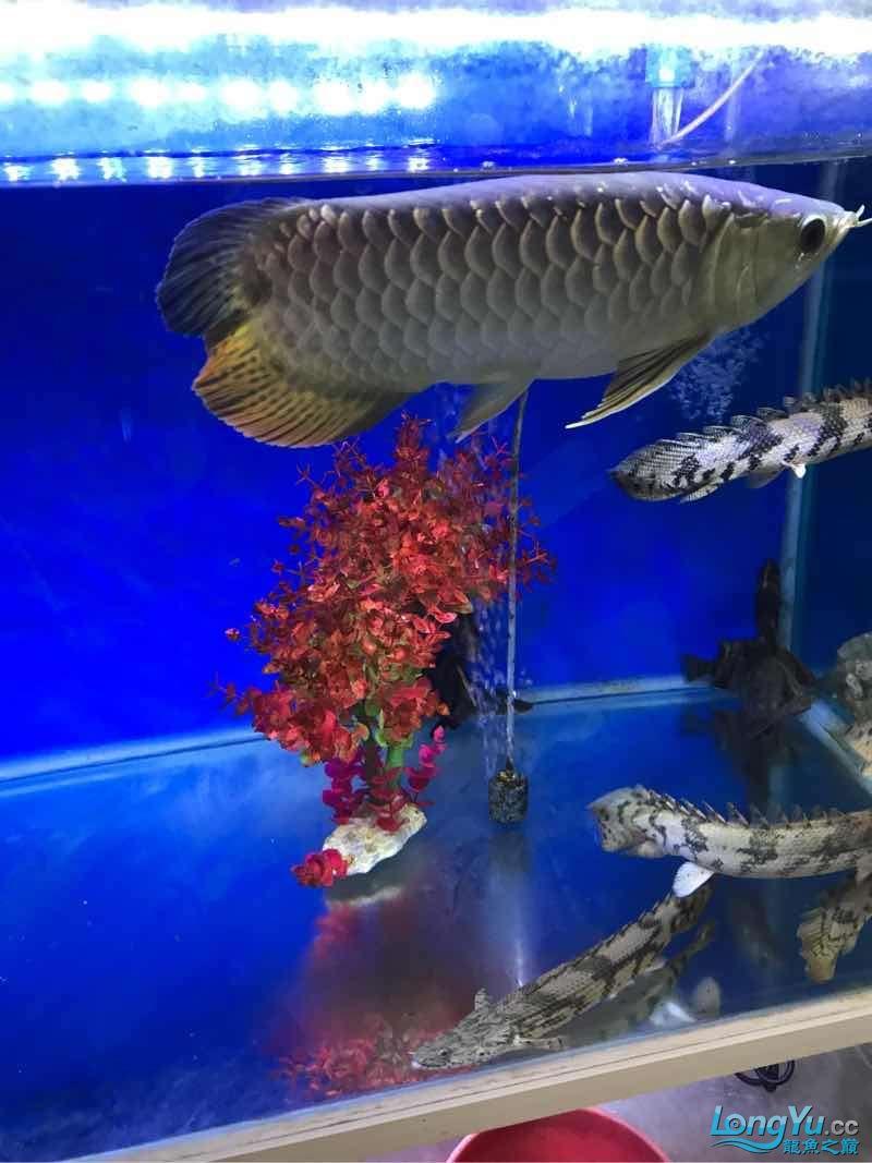 蝶【西安鱼缸沉木】尾 西安观赏鱼信息