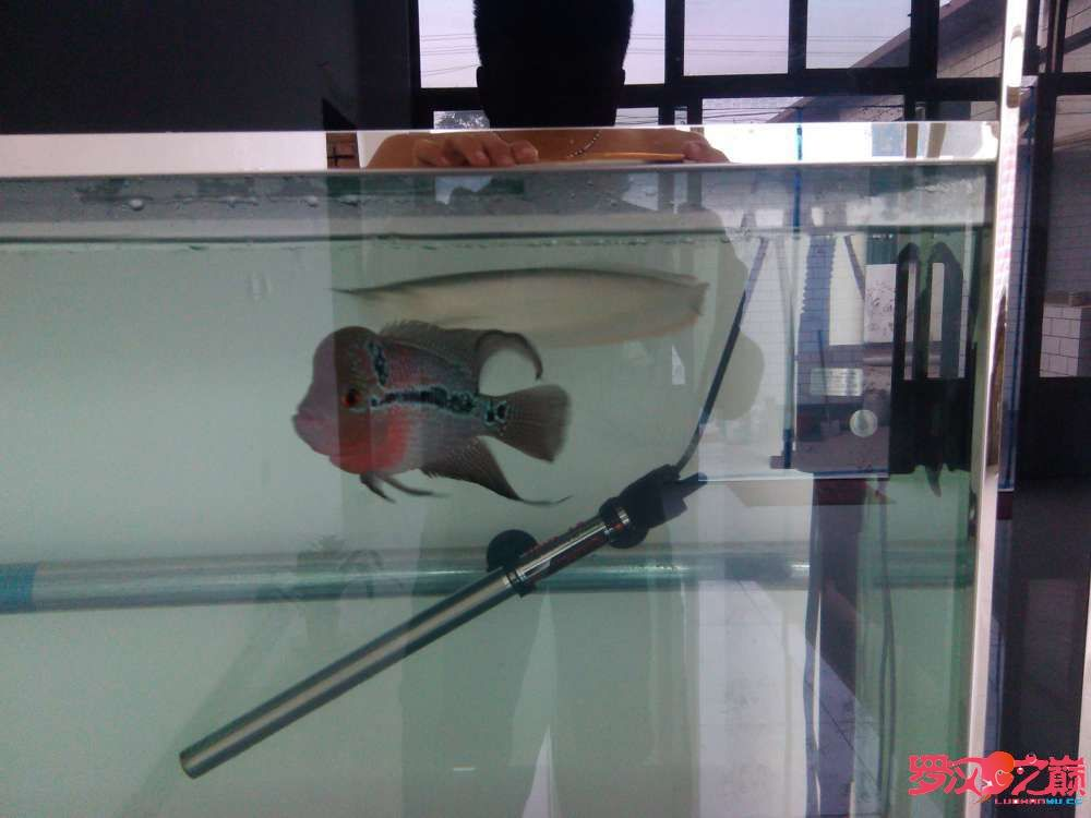 罗汉鱼和龙鱼可以混养么? 西安观赏鱼信息 西安博特第1张