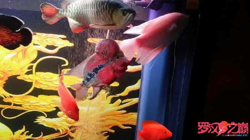 罗汉鱼和龙鱼可以混养么? 西安观赏鱼信息 西安博特第2张