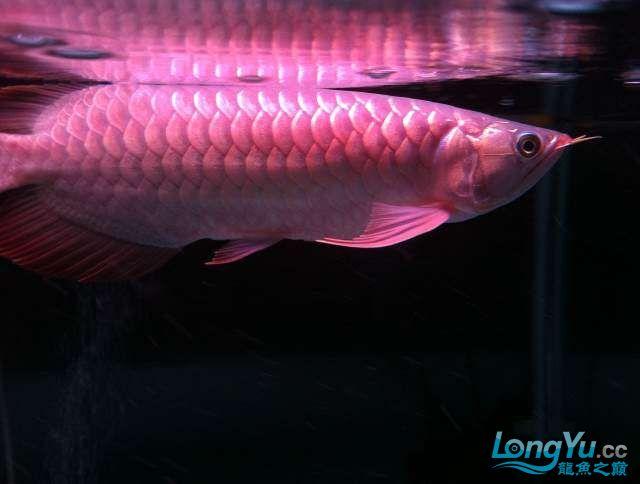 看看红龙如何 西安龙鱼论坛 西安博特第1张