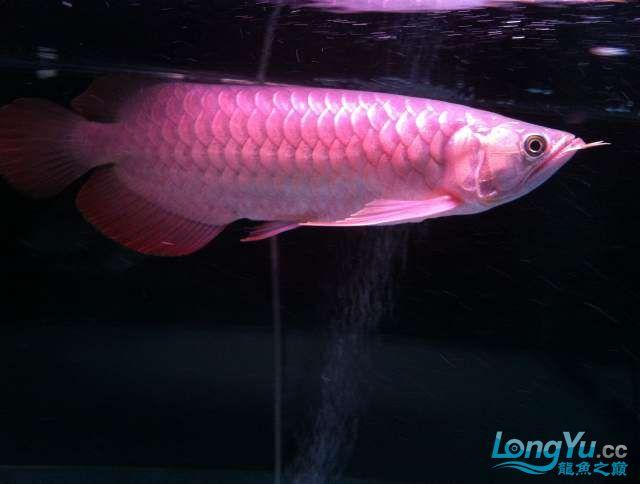 看看红龙如何 西安龙鱼论坛 西安博特第2张