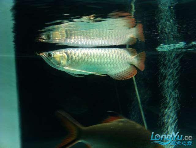 看看红龙如何 西安龙鱼论坛 西安博特第3张