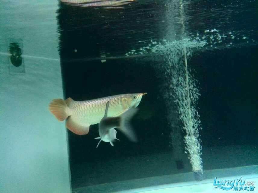 看看红龙如何 西安龙鱼论坛 西安博特第4张