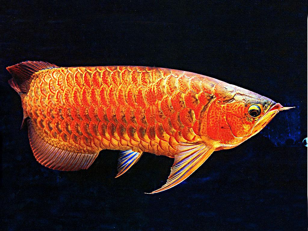 看看红龙如何 西安龙鱼论坛 西安博特第5张