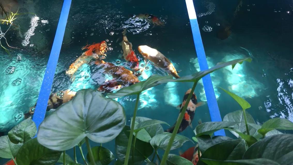 水清鱼靓有秘诀 西安观赏鱼信息