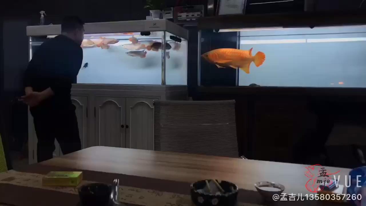 孟吉尔鱼友一下飞机直奔广州展厅 西安龙鱼论坛 西安博特第1张