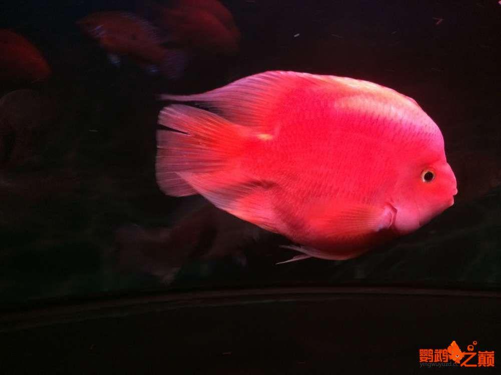 鹦鹉鱼如【西安哪个水族馆有金龙】何起头 西安观赏鱼信息 西安博特第2张