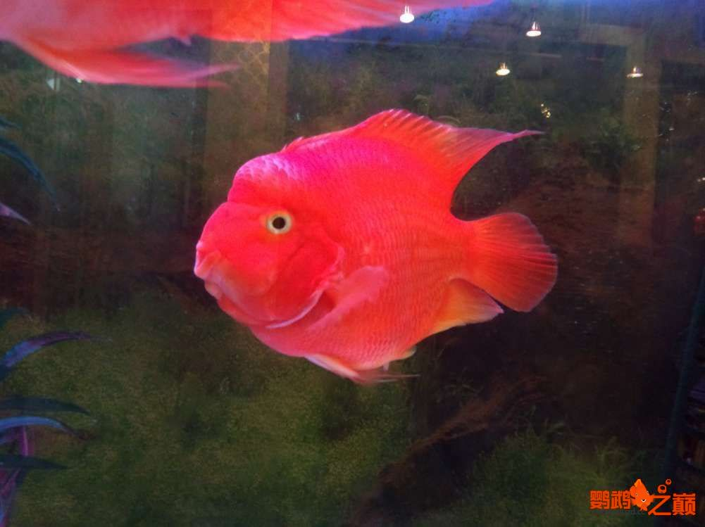 鹦鹉鱼如【西安哪个水族馆有金龙】何起头