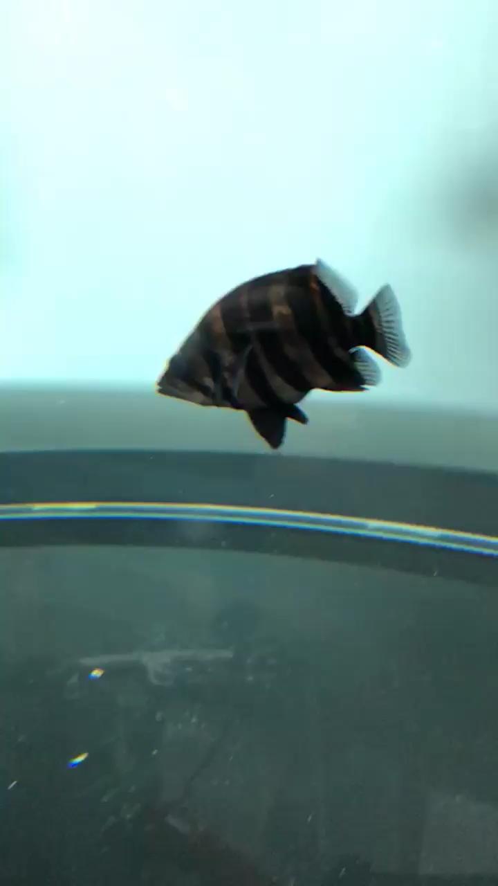 喂猪龙鱼 西安观赏鱼信息 西安博特第1张