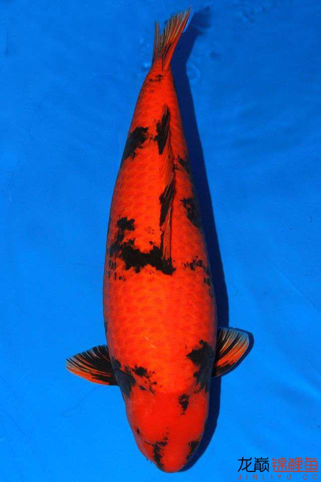 品读写鲤之间不同的美 西安观赏鱼信息 西安博特第8张