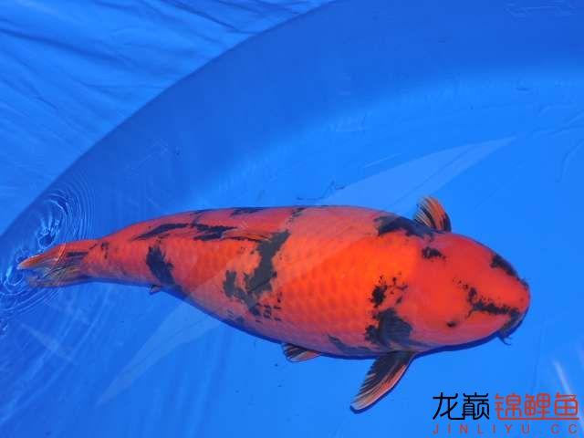 品读写鲤之间不同的美 西安观赏鱼信息 西安博特第11张
