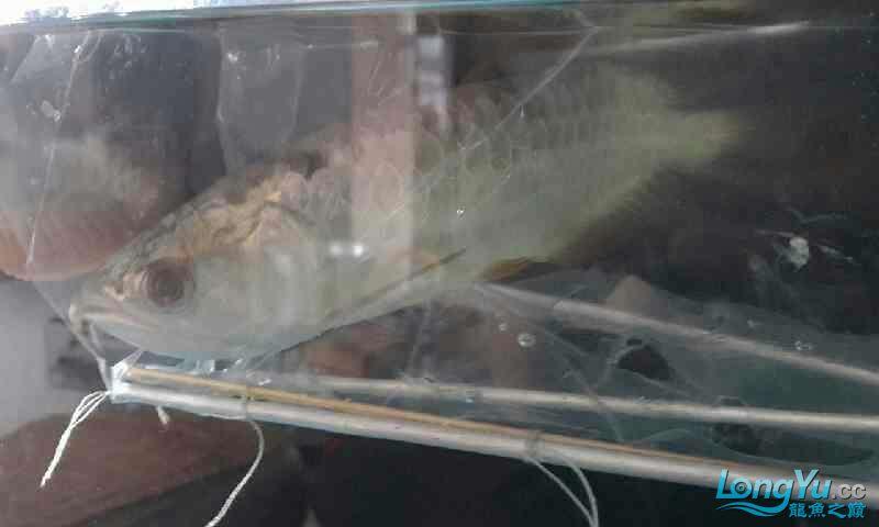 鱼头往下了 西安观赏鱼信息 西安博特第2张