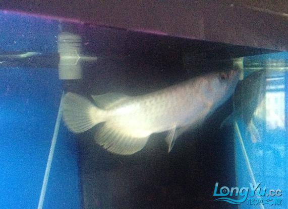 这个这样白 是不是青龙啊 西安观赏鱼信息 西安博特第1张