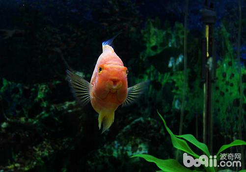 这个这样白 是不是青龙啊 西安观赏鱼信息 西安博特第2张