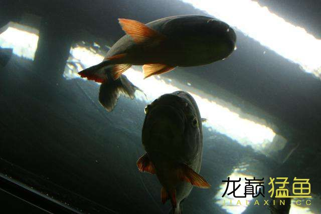换个角度拍水【西安一眉道人鱼】虎 西安龙鱼论坛 西安博特第2张