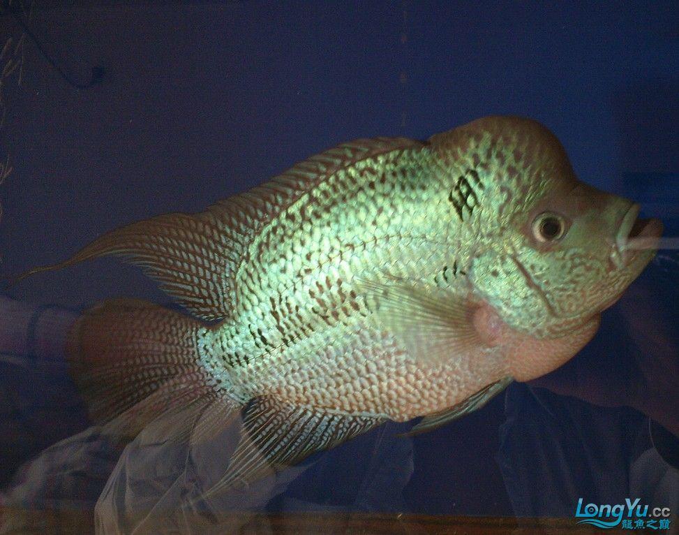 这罗汉 什么品种 什么价位啊? 西安观赏鱼信息 西安博特第1张