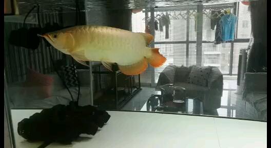 求高手指白底透缸养红龙会不会影响发色 西安观赏鱼信息