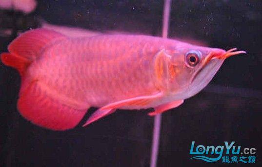 请大家评评这条龙鱼怎么样? 西安龙鱼论坛 西安博特第1张