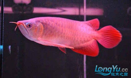请大家评评这条龙鱼怎么样? 西安龙鱼论坛 西安博特第2张