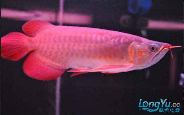 请大家评评这条龙鱼怎么样? 西安龙鱼论坛 西安博特第3张