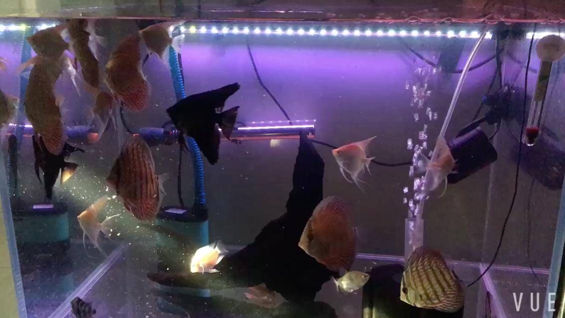 吃吃吃神仙鱼 西安观赏鱼信息 西安博特第1张