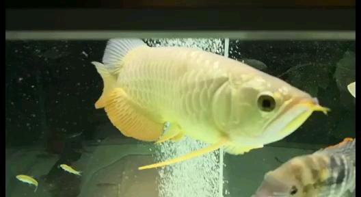 【西安飞凤鱼】瞧瞧龙鱼 西安观赏鱼信息