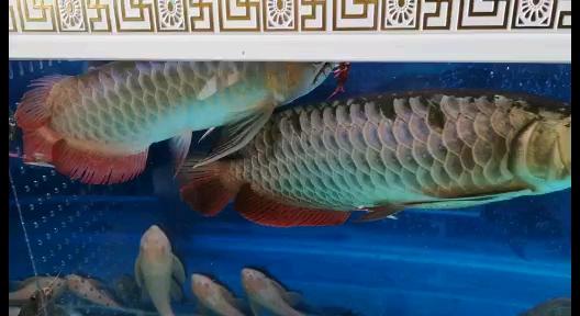 开餐了广东鱼友圈 西安龙鱼论坛 西安博特第1张