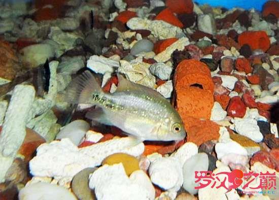 山凤凰金花苗 西安观赏鱼信息 西安博特第4张