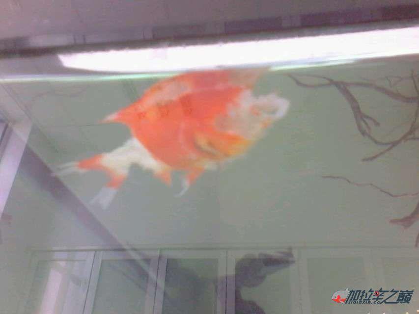 加拉辛红腹水虎发威了把草【西安水族馆微信】金给干死了 西安观赏鱼信息 西安博特第4张