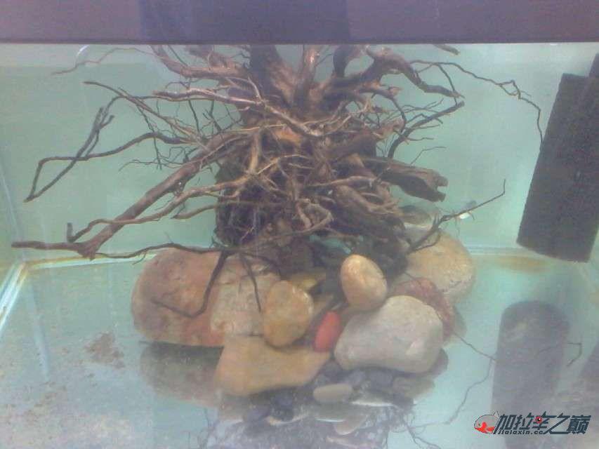 加拉辛红腹水虎发威了把草【西安水族馆微信】金给干死了 西安观赏鱼信息 西安博特第7张